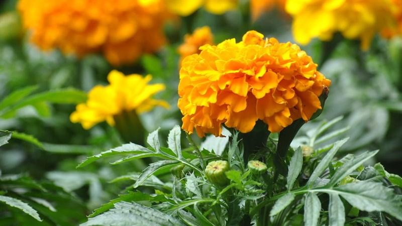 Hình nền hoa cúc vạn thọ 11 (Kích thước: 1920 x 1080)