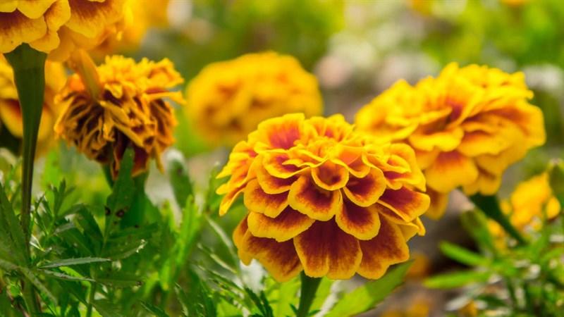 Hình nền hoa cúc vạn thọ 10 (Kích thước: 1920 x 1080)