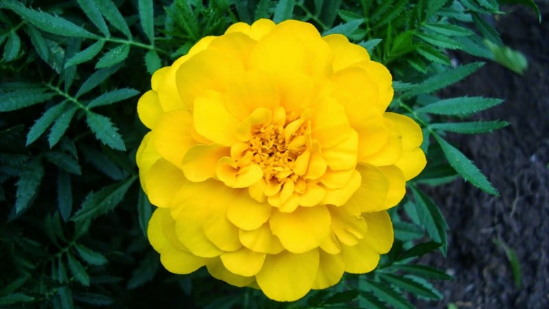 Hình nền hoa cúc vạn thọ 1 (Kích thước: 1920 x 1080)