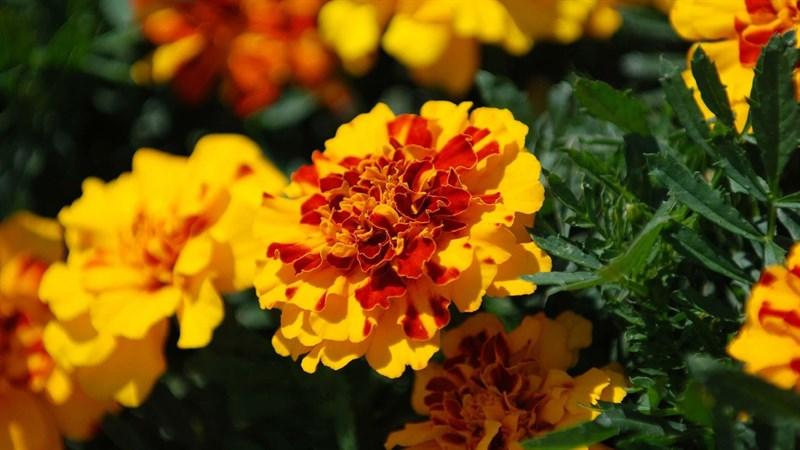 Hình nền hoa cúc vạn thọ 3 (Kích thước: 1920 x 1080)