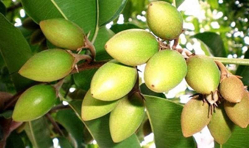 Những bài thuốc quý của trái cà na