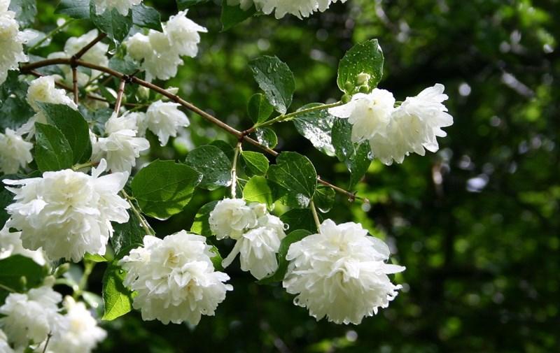 đặc điểm của hoa nhài (hoa lài)