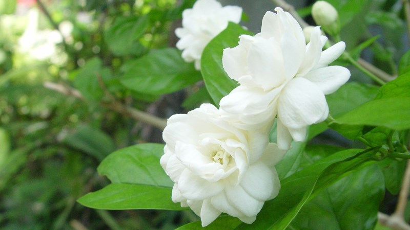 ý nghĩa của hoa nhài (hoa lài)