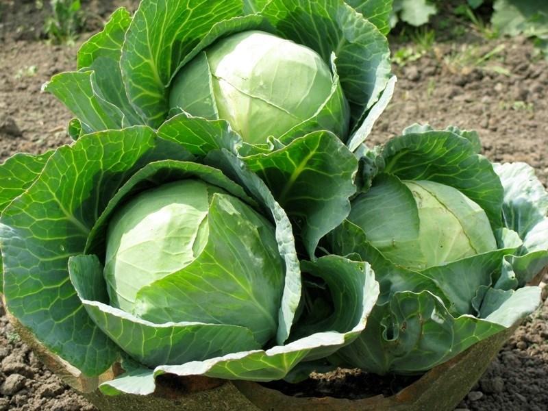 Đặc điểm và nguồn gốc của bắp cải