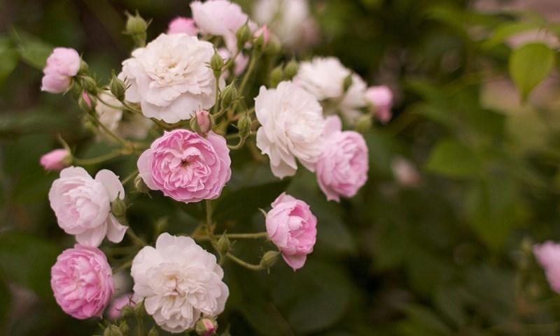 Nguồn gốc của hoa hồng