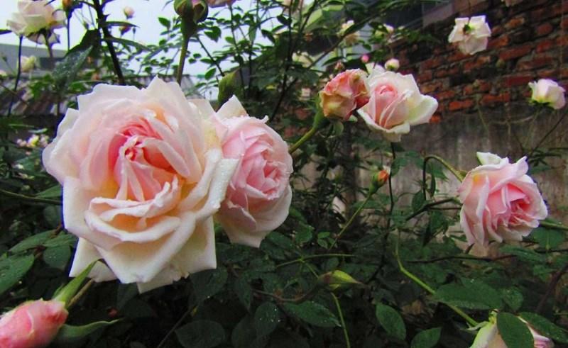 Hoa hồng đào cổ