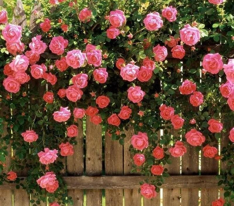 Hoa hồng leo (hồng dại hay hồng bò)