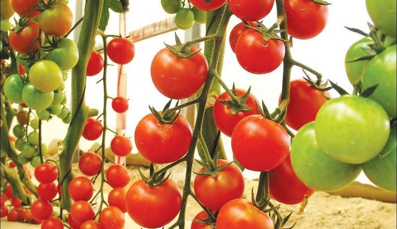 Giá trị dinh dưỡng của cà chua