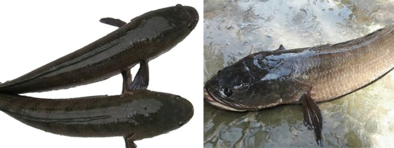 phân biệt cá lóc đồng và cá lóc sông