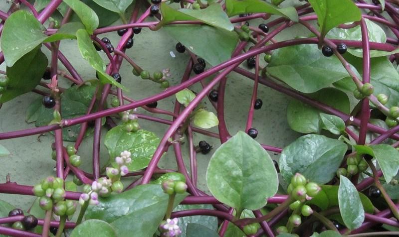 Phân loại, nguồn gốc và phân bố rau mồng tơi