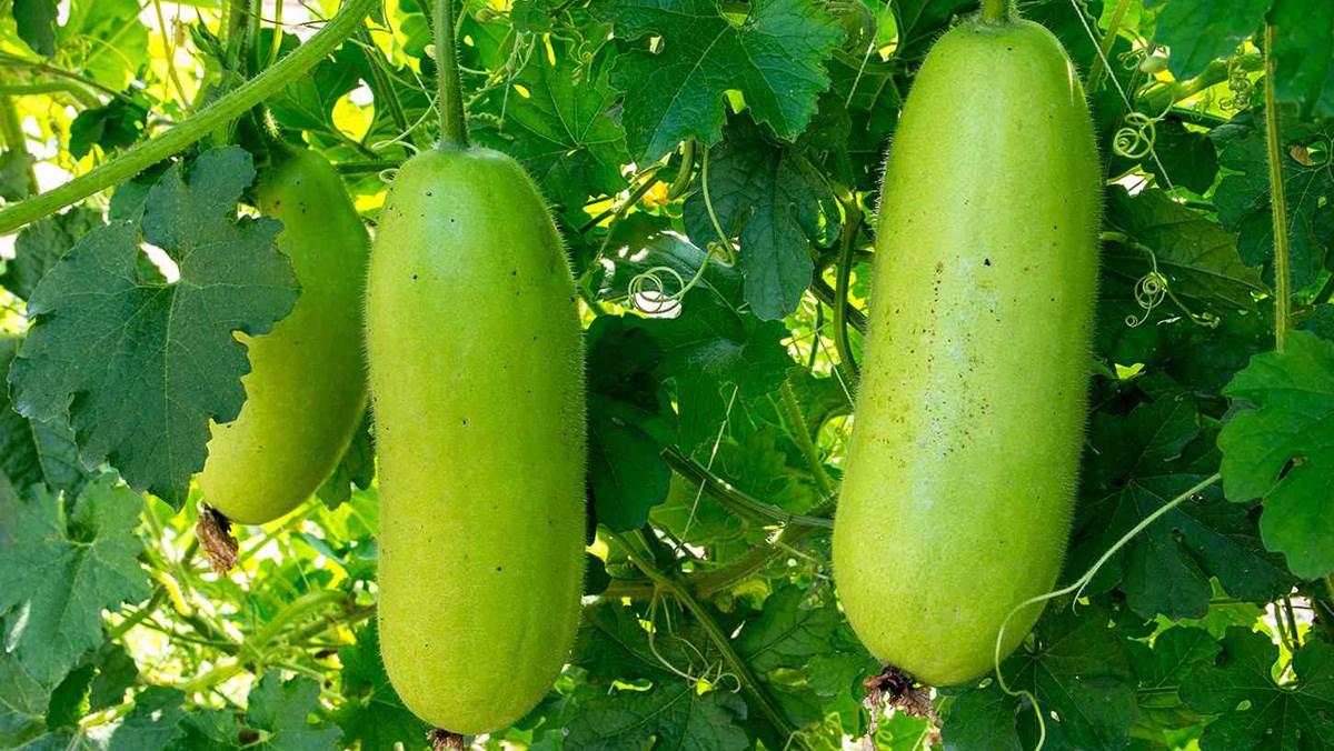 8 tác dụng của bí đao đối với sức khỏe và các món ăn ngon từ bí đao