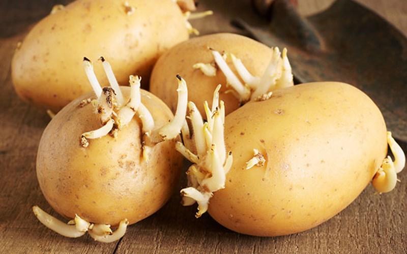 Không ăn khoai tây mọc mầm