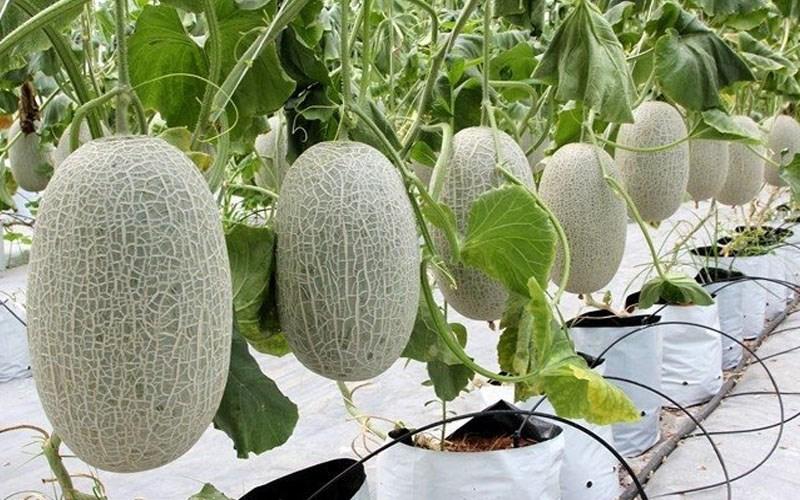 Hami Melon Long Fruit