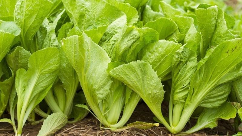 6 tác dụng của rau cải xanh (cải bẹ xanh) và một số tác hại