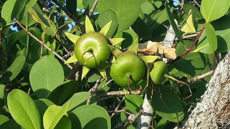 Trái bần là quả gì?