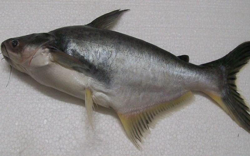 Cá Basa là gì?