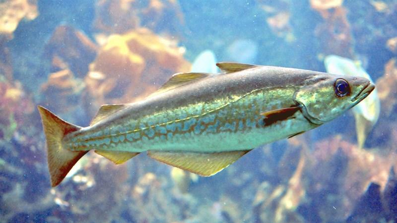 Tổng hợp tên các loại cá thịt trắng ngon, tốt cho sức khoẻ người chơi cần biết