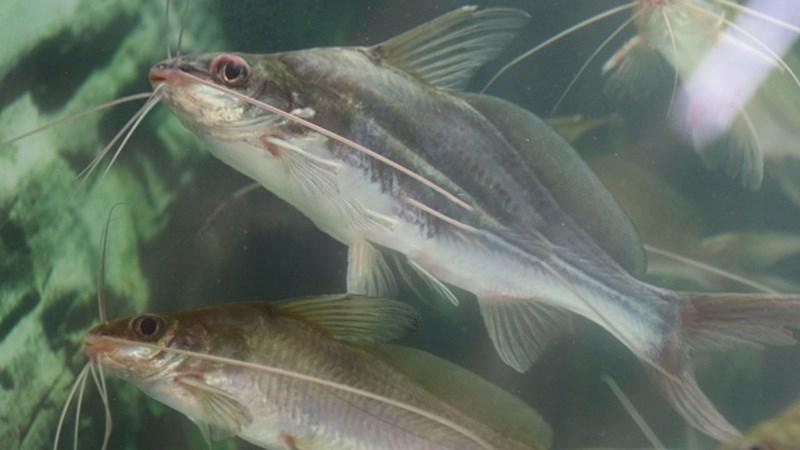 Cá chốt - cá ngạnh là cá gì ?