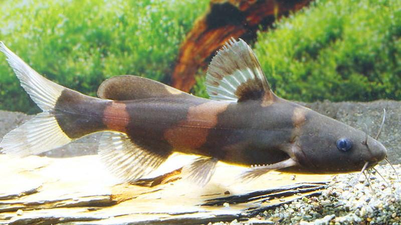 Cá chốt bông