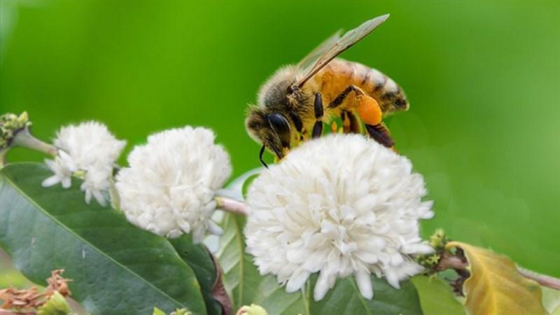Mật ong hoa cà phê