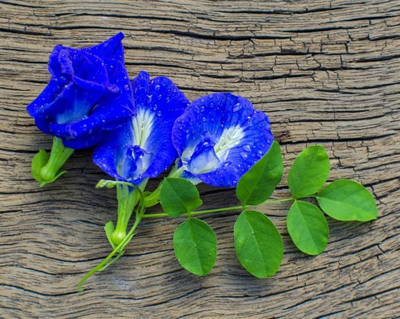 Hoa đậu biếc có màu xanh tím