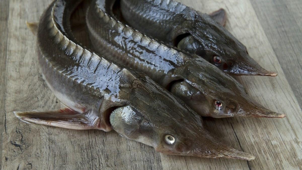 Cách chọn mua cá tầm, cách sơ chế, làm sạch cá tầm