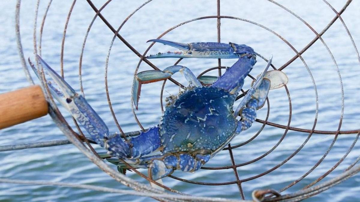 Các loại ghẹ biển phổ biến ở Việt Nam