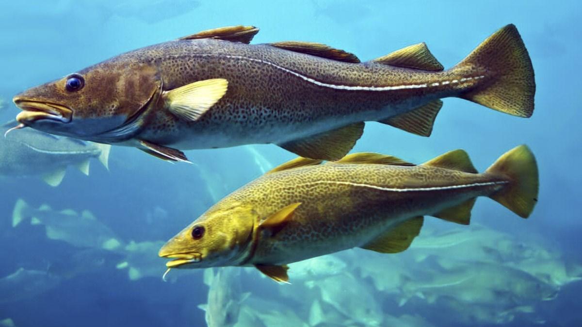 Cá tuyết là cá gì, giá bán, cách chế biến