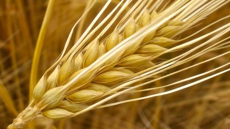 Đại mạch (barley)