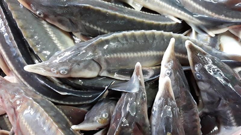 Cách chọn mua cá tầm tươi ngon