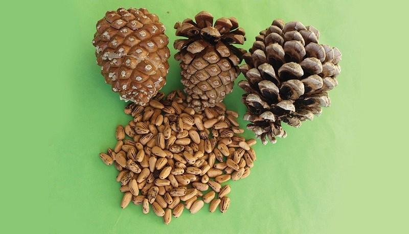 Hạt thông - pine nuts là gì?