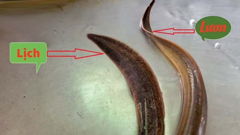 Con lịch và con lươn khác nhau qua hình dạng