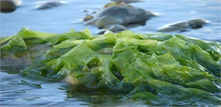 Rong biển, báu vật từ đại dương