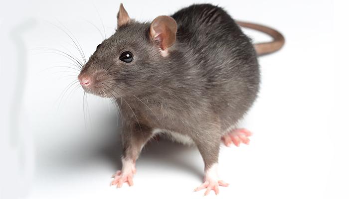 Muốn diệt chuột cũng rất đơn giản với xi măng