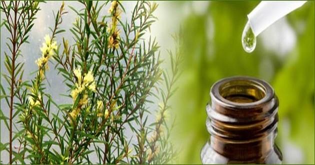 Tinh dầu tràm trà giúp khử trùng hiệu q
