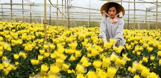 Mẹo hay giúp hoa nở chậm đón Tết đúng ngày