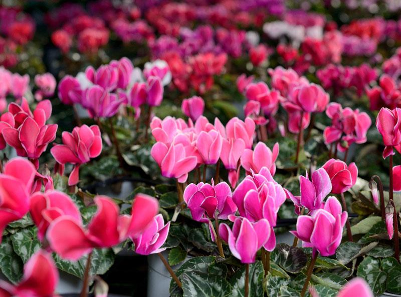 Đem hoa vào nhà để làm giảm nhiệt độ