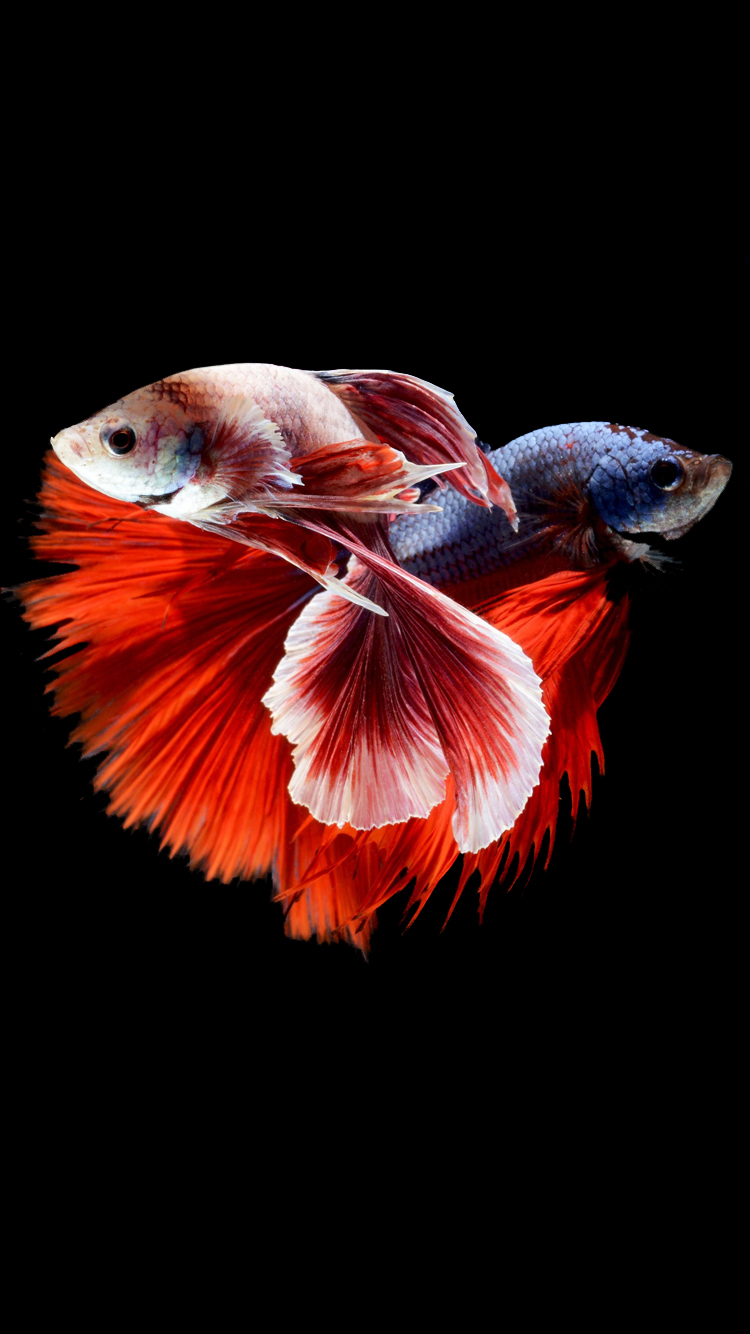 hinh-nen-ca-choi-iphone-6s-two-betta-