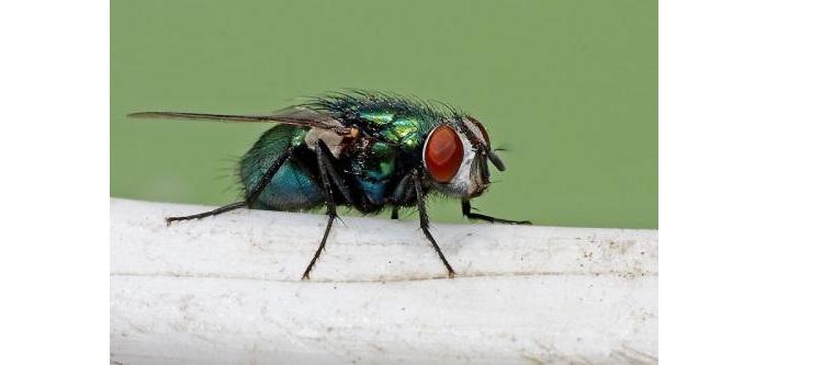 Đuổi ruồi có thể dùng keo dình chuyên dụng hoặc vỏ bưởi.