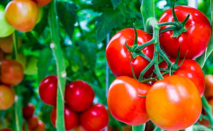 Cà chua cũng là một mỹ phẩm thiên nhiên giúp trị mụn đầu đen