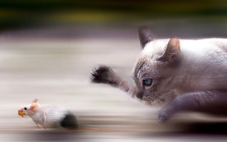 Nuôi kẻ thù của chuột trong nhà - Mèo