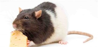Cách xử lý mùi chuột chết trong nhà hiệu quả
