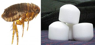 Cách diệt bọ chét bằng băng phiến cực nhanh