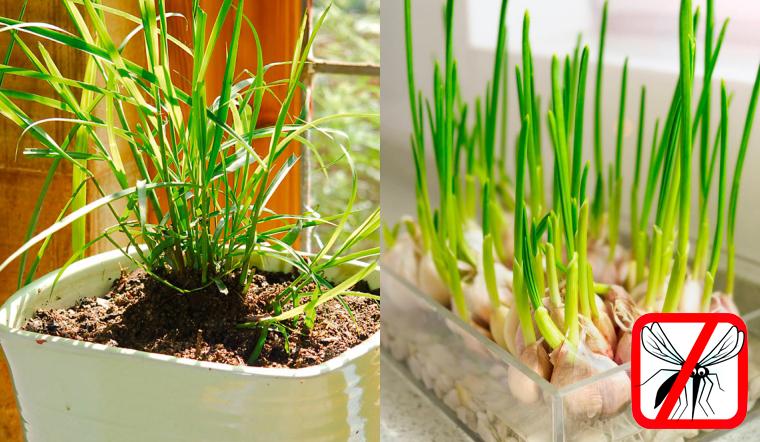 Trồng 6 loại cây gia vị này trong nhà, vừa có rau củ ăn vừa đuổi muỗi hiệu quả vào mùa mưa