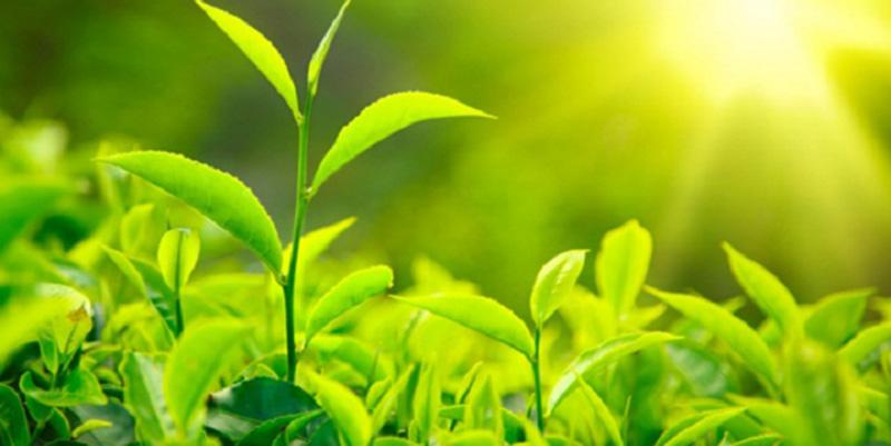 Giá trị dinh dưỡng của trà ô long