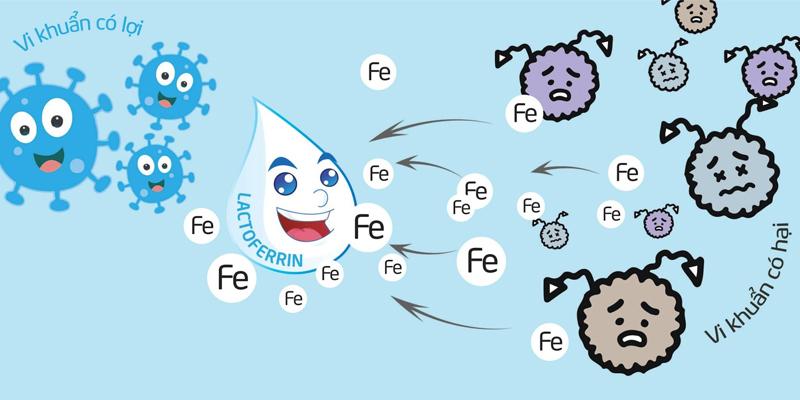 Lactoferrin là gì và tầm quan trọng của nó?-2