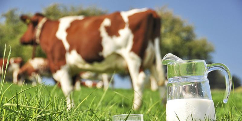 Sữa thanh trùng nguyên liệu là 100% sữa tươi mới vắt