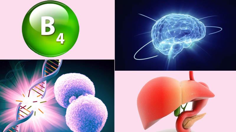 Vitamin B4 và những điều chưa biết-1