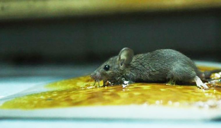 Keo dính chuột là gì và cách sử dụng keo dính chuột?