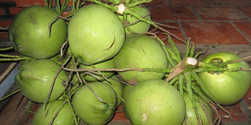 Đầu tiên bạn cần để ý thật kỹ phần cuống, nếu cuống dừa bị sủi bọt thì chắc chắn nó đã bị tiêm đường hóa học để tăng độ ngọt của nước dừa.